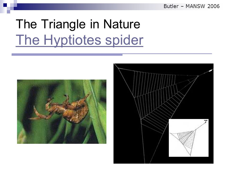 The Triangle in Nature The Hyptiotes spider The Hyptiotes spider Butler – MANSW 2006