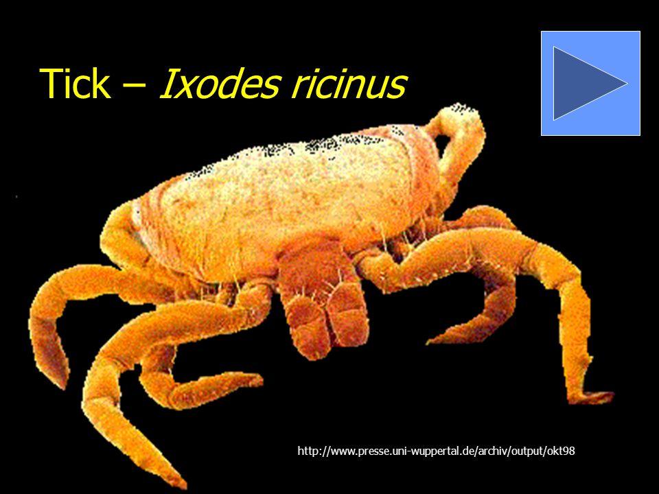 Tick – Ixodes ricinus http://www.presse.uni-wuppertal.de/archiv/output/okt98
