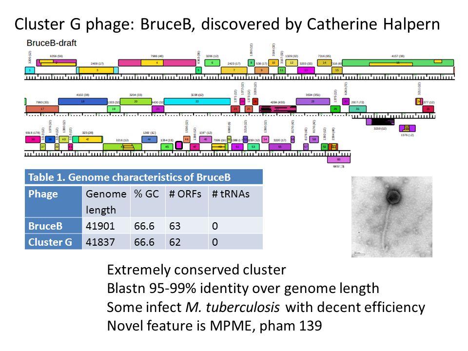 Cluster G phage: BruceB, discovered by Catherine Halpern Extremely conserved cluster Blastn 95-99% identity over genome length Some infect M.