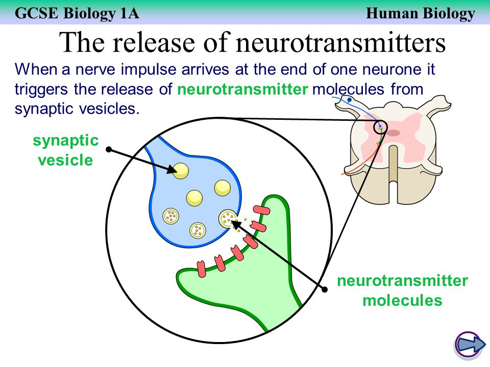 GCSE Biology 1AHuman Biology The release of neurotransmitters When a nerve impulse arrives at the end of one neurone it triggers the release of neurot
