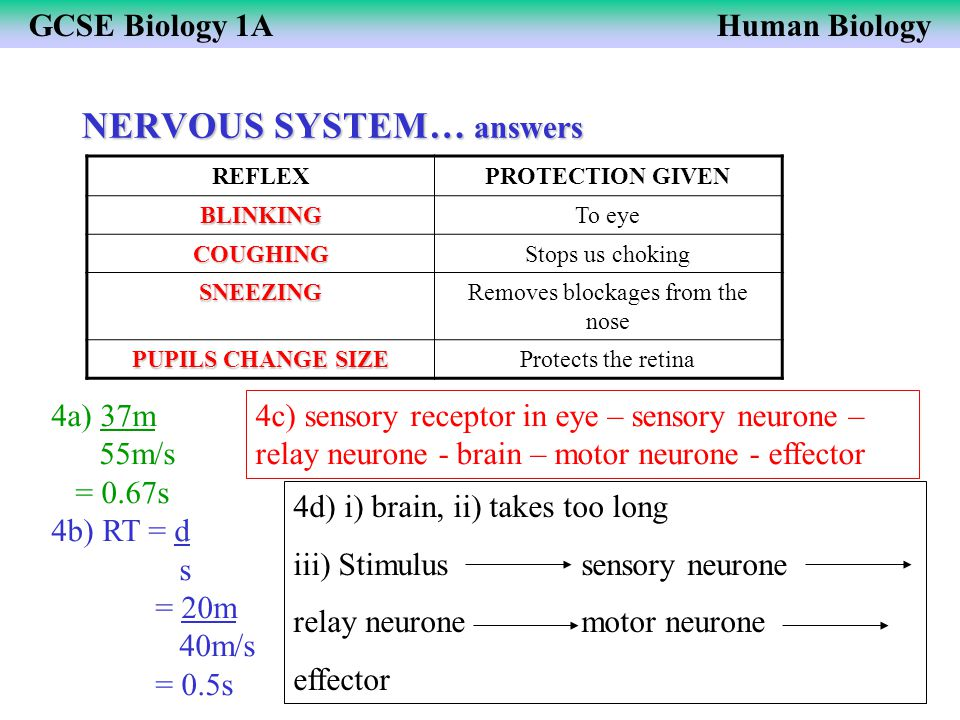 GCSE Biology 1AHuman Biology NERVOUS SYSTEM… answers REFLEXPROTECTION GIVEN BLINKINGTo eye COUGHINGStops us choking SNEEZINGRemoves blockages from the