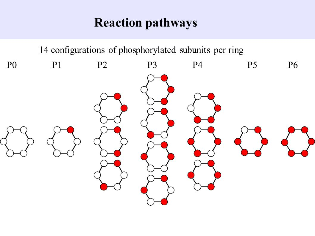 Reaction pathways 14 configurations of phosphorylated subunits per ring P0 P1P2 P3 P4 P5 P6
