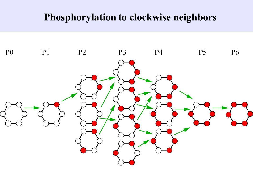 Phosphorylation to clockwise neighbors P0 P1P2 P3 P4 P5 P6
