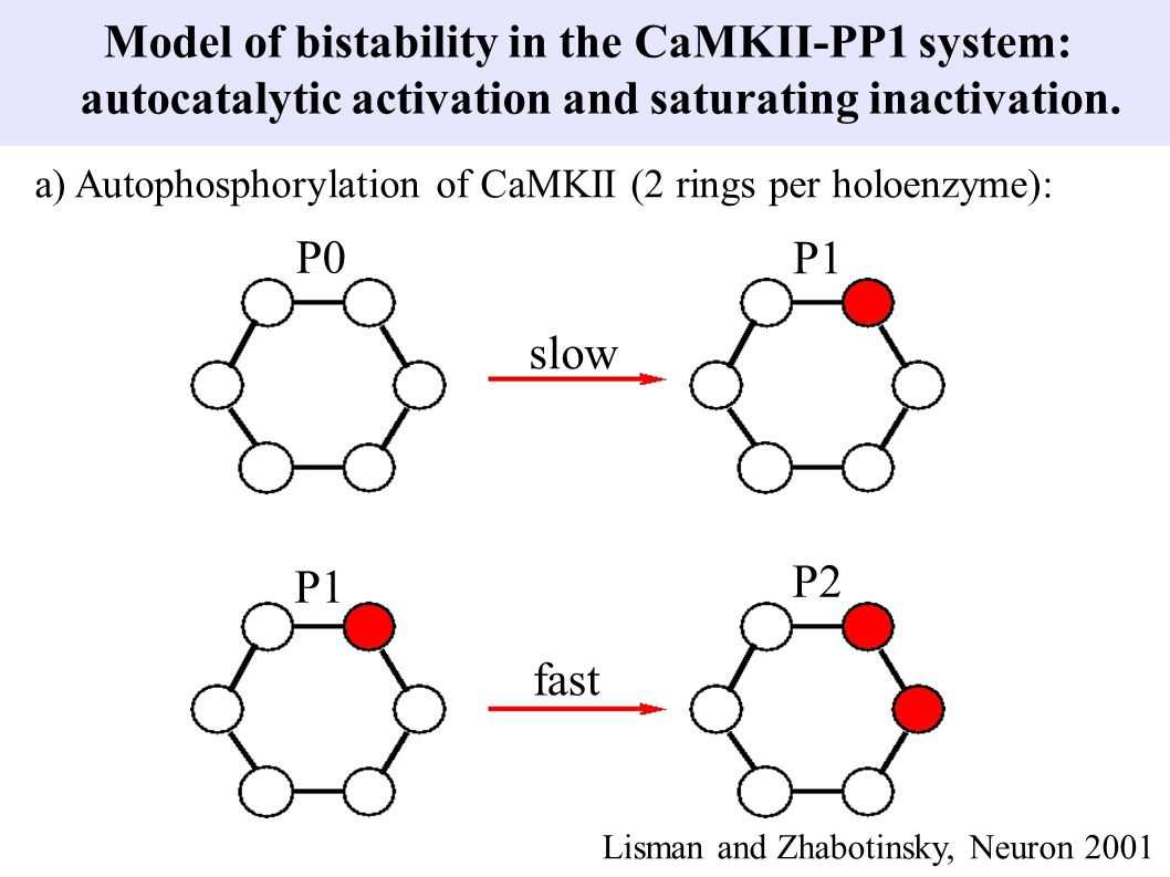 Model of bistability in the CaMKII-PP1 system: autocatalytic activation and saturating inactivation. P0 P1 P2 slow fast a) Autophosphorylation of CaMK