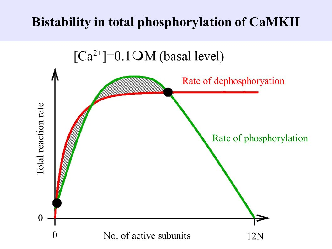 Bistability in total phosphorylation of CaMKII 0 12N No. of active subunits Total reaction rate 0 Rate of phosphorylation Rate of dephosphoryation [Ca