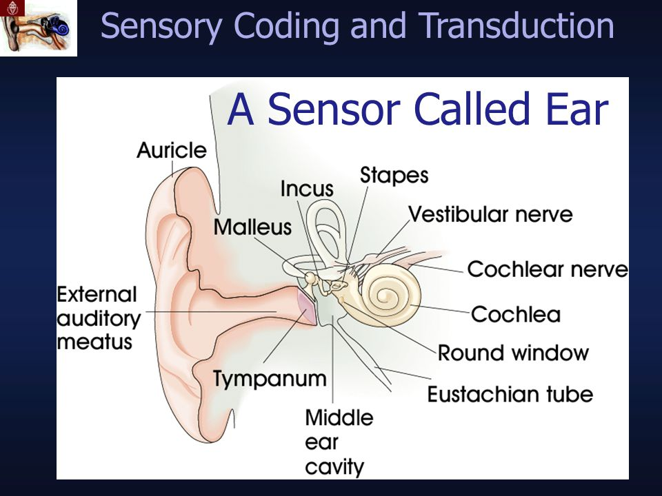 A Sensor Called Ear Sensory Coding and Transduction