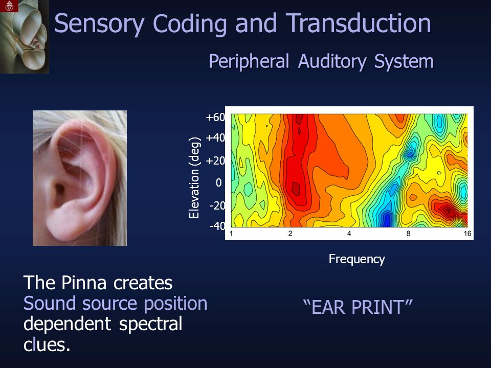 Peripheral Auditory System Sensory Coding and Transduction Elevation (deg) -40 -20 0 +20 +40 +60 The Pinna creates Sound source position dependent spectral clues.