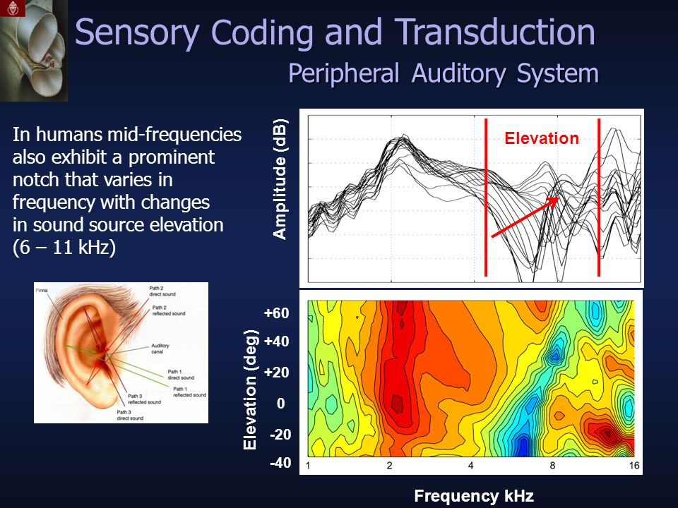 Elevation (deg) -40 -20 0 +20 +40 +60 Frequency kHz Amplitude (dB) In humans mid-frequencies also exhibit a prominent notch that varies in frequency with changes in sound source elevation (6 – 11 kHz) Elevation Peripheral Auditory System Sensory Coding and Transduction