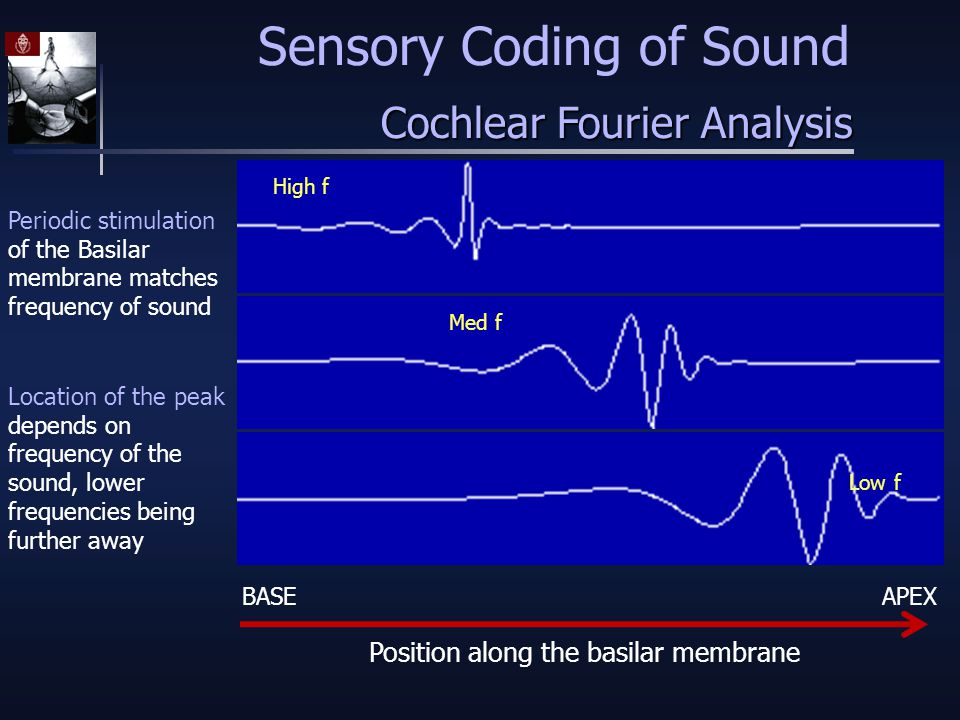 Cochlear Fourier Analysis High f Med f Low f Periodic stimulation of the Basilar membrane matches frequency of sound BASEAPEX Location of the peak depends on frequency of the sound, lower frequencies being further away Position along the basilar membrane Sensory Coding of Sound