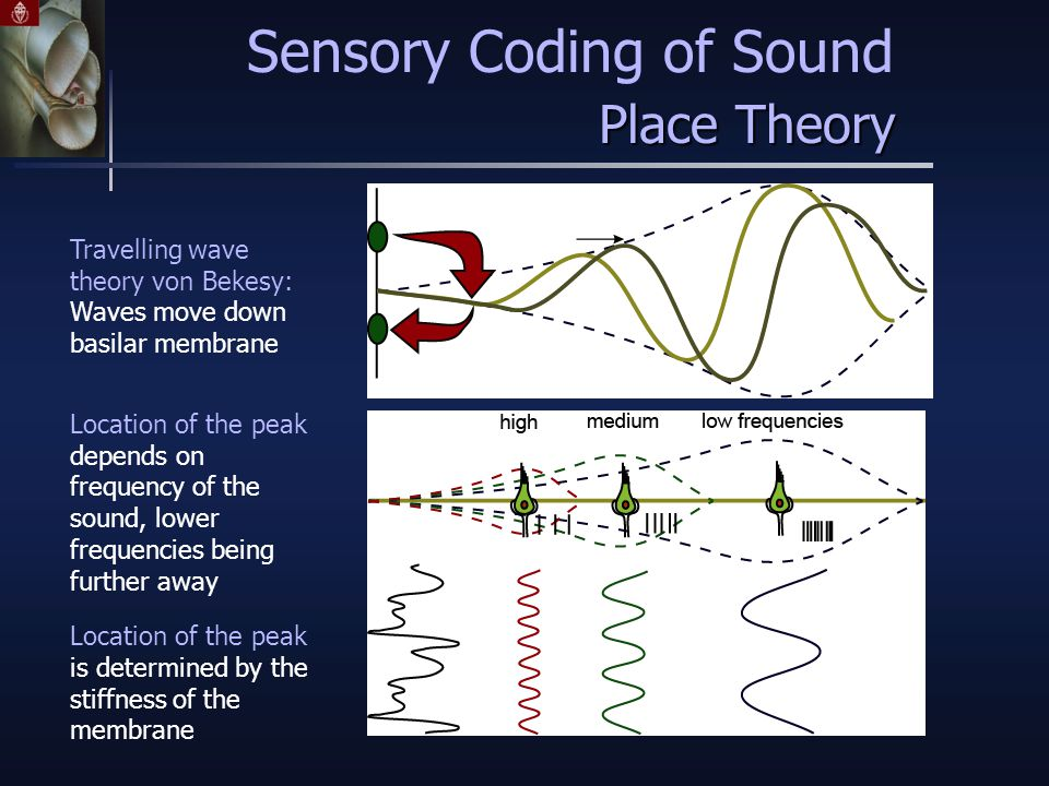 Location of the peak depends on frequency of the sound, lower frequencies being further away Location of the peak is determined by the stiffness of the membrane Travelling wave theory von Bekesy: Waves move down basilar membrane Sensory Coding of Sound Place Theory