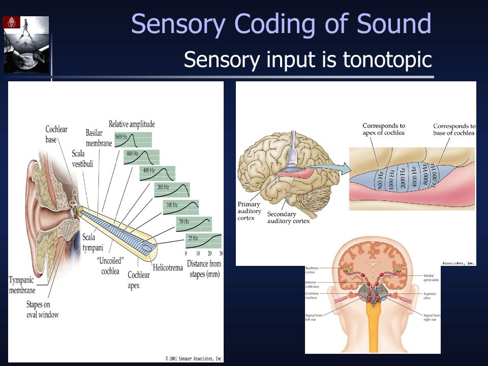 Sensory Coding of Sound Sensory input is tonotopic