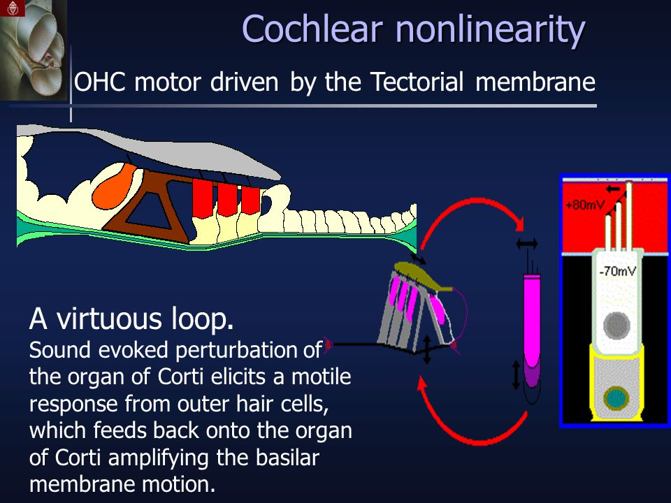 Cochlear nonlinearity OHC motor driven by the Tectorial membrane A virtuous loop.