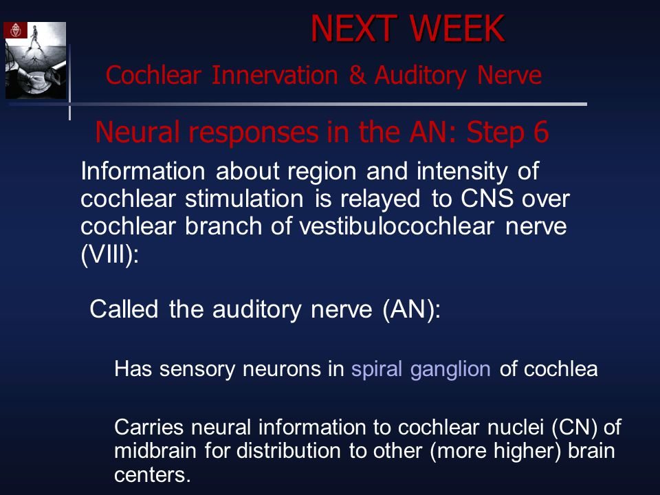 Neural responses in the AN: Step 6 Information about region and intensity of cochlear stimulation is relayed to CNS over cochlear branch of vestibulocochlear nerve (VIII): Called the auditory nerve (AN): Has sensory neurons in spiral ganglion of cochlea Carries neural information to cochlear nuclei (CN) of midbrain for distribution to other (more higher) brain centers.