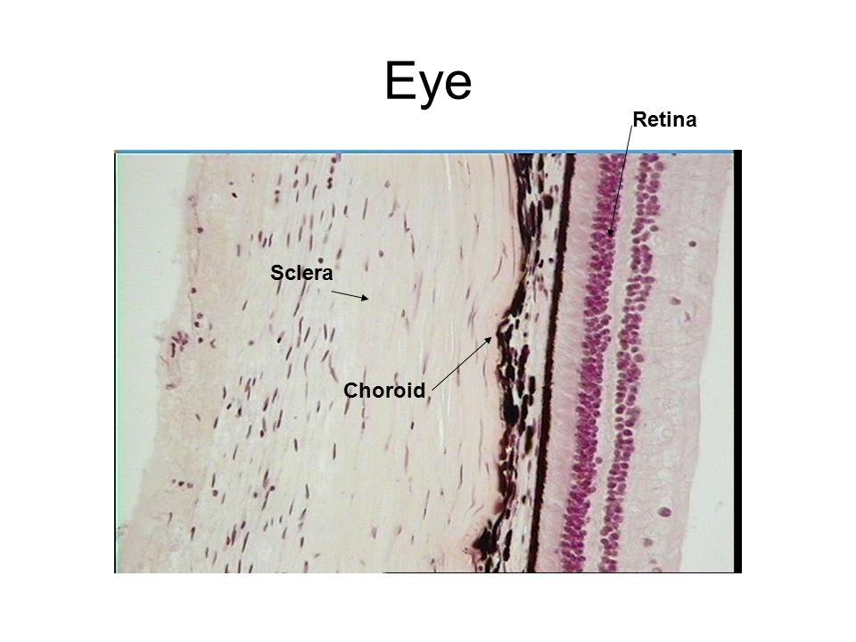 Eye Choroid Sclera Retina