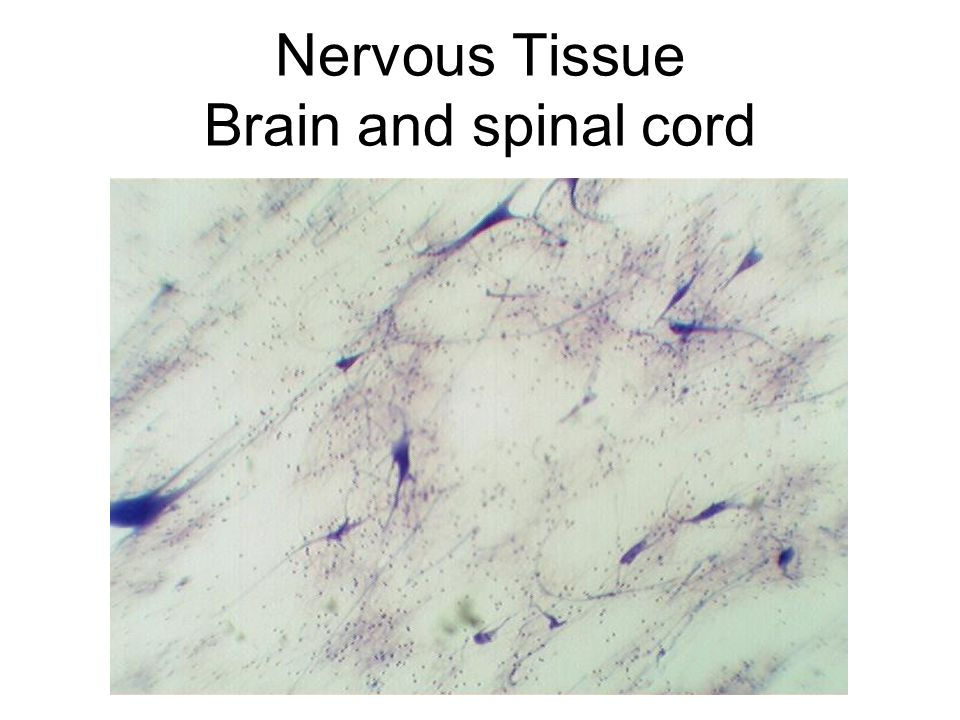 Nervous Tissue Brain and spinal cord