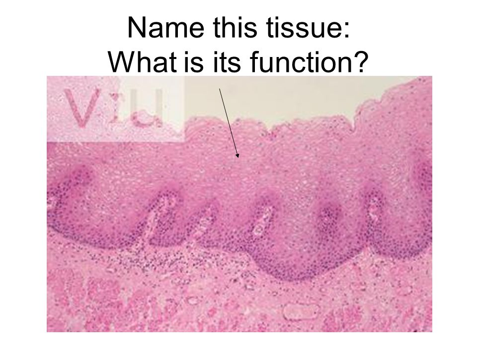 Name this tissue: What is its function?