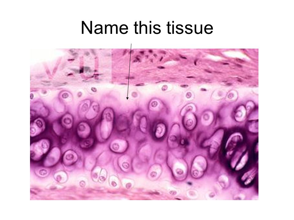 Name this tissue