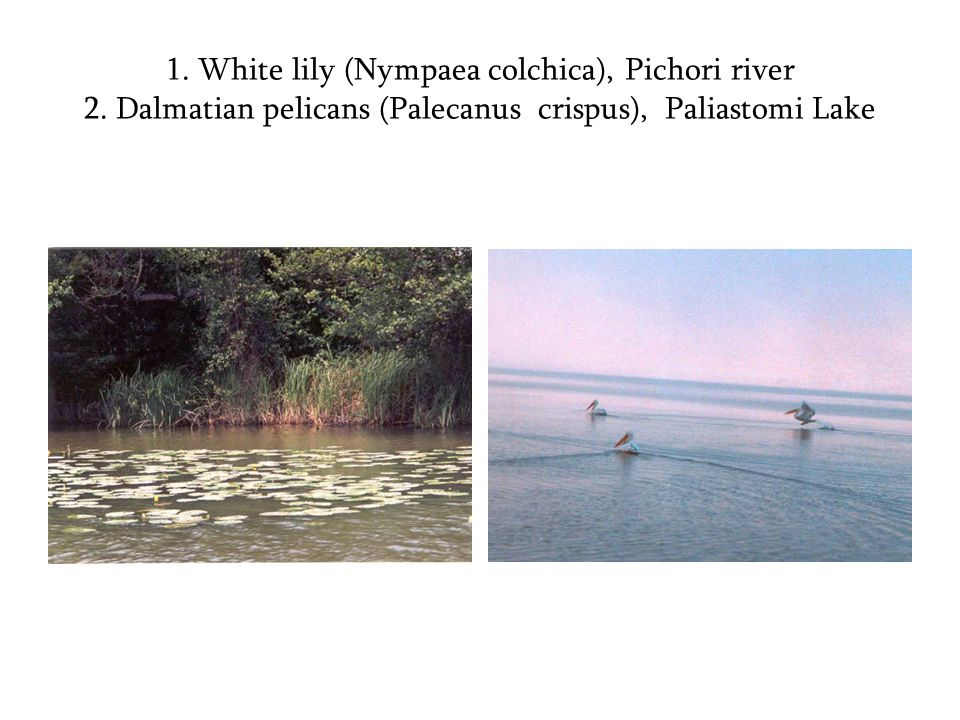 1. White lily (Nympaea colchica), Pichori river 2.