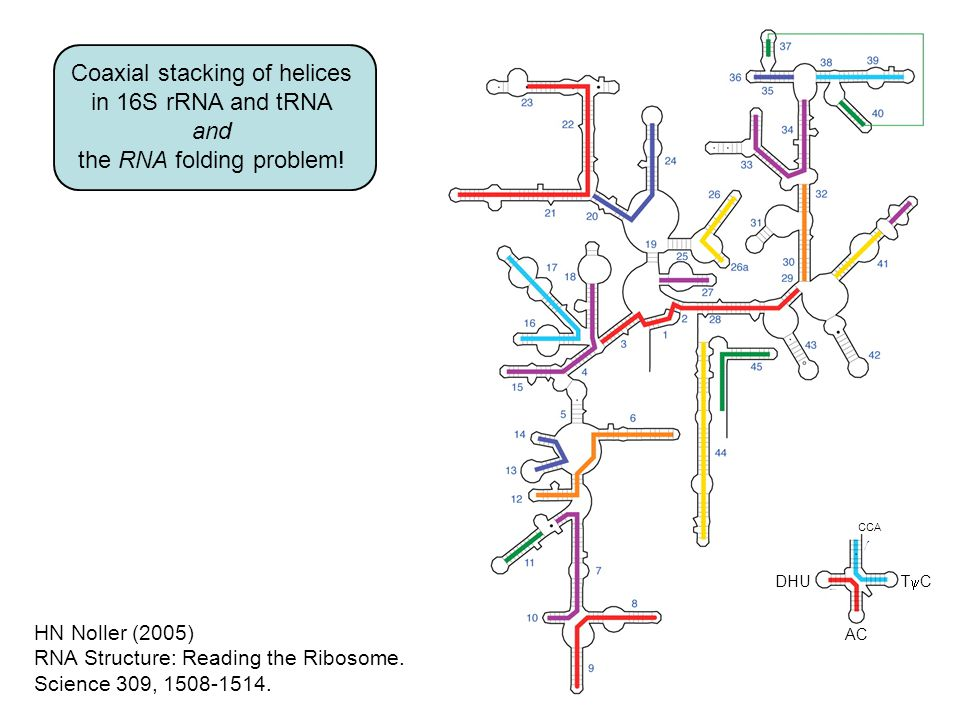 Coaxial stacking of helices in 16S rRNA and tRNA and the RNA folding problem.