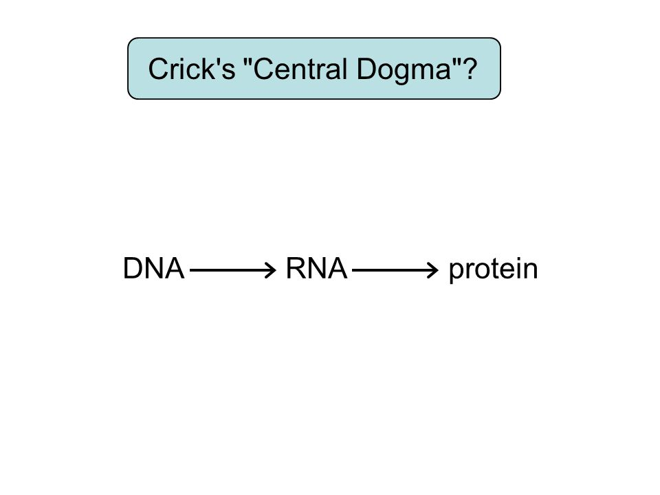 Crick s Central Dogma DNA makes RNA makes protein