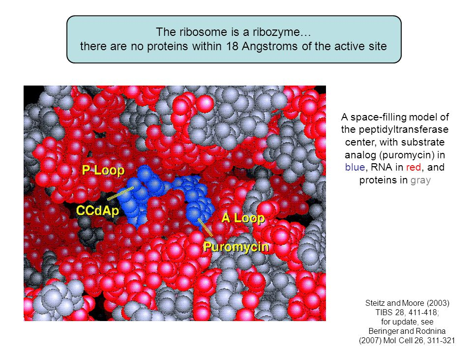 The ribosome is a ribozyme… there are no proteins within 18 Angstroms of the active site A space-filling model of the peptidyltransferase center, with substrate analog (puromycin) in blue, RNA in red, and proteins in gray Steitz and Moore (2003) TIBS 28, 411-418; for update, see Beringer and Rodnina (2007) Mol Cell 26, 311-321