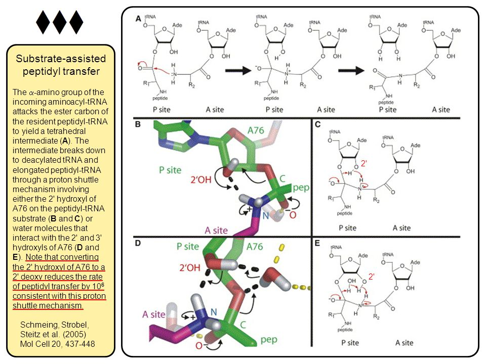 Substrate-assisted peptidyl transfer The  -amino group of the incoming aminoacyl-tRNA attacks the ester carbon of the resident peptidyl-tRNA to yield a tetrahedral intermediate (A).