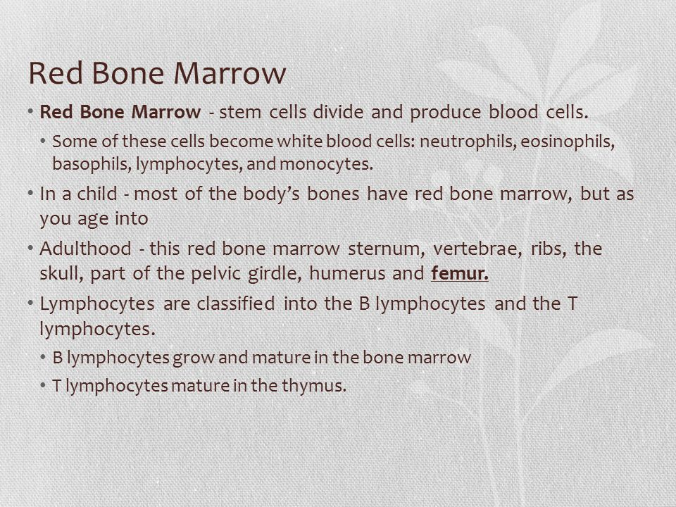 Red Bone Marrow Red Bone Marrow - stem cells divide and produce blood cells. Some of these cells become white blood cells: neutrophils, eosinophils, b