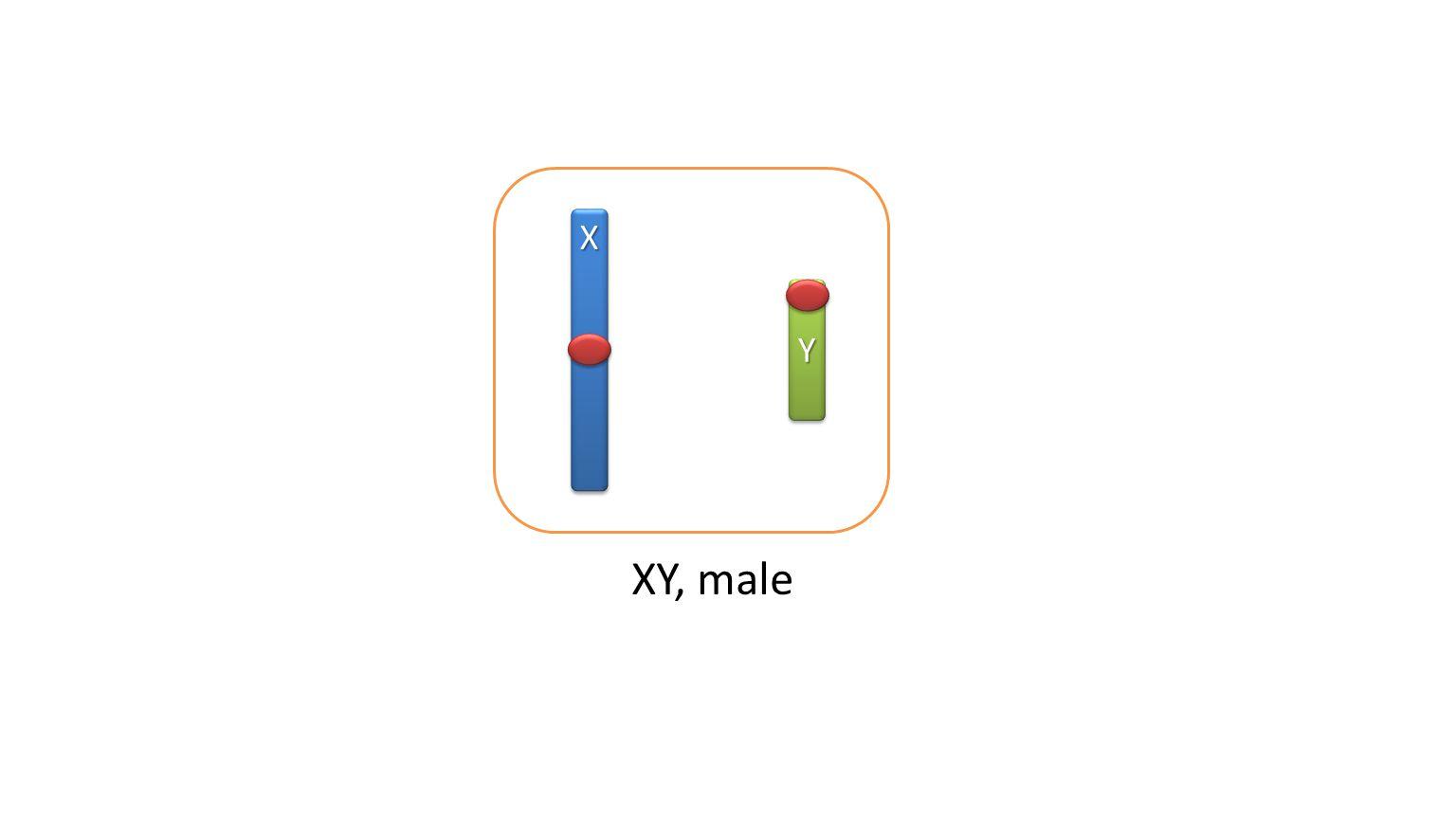 XY, male XX YY