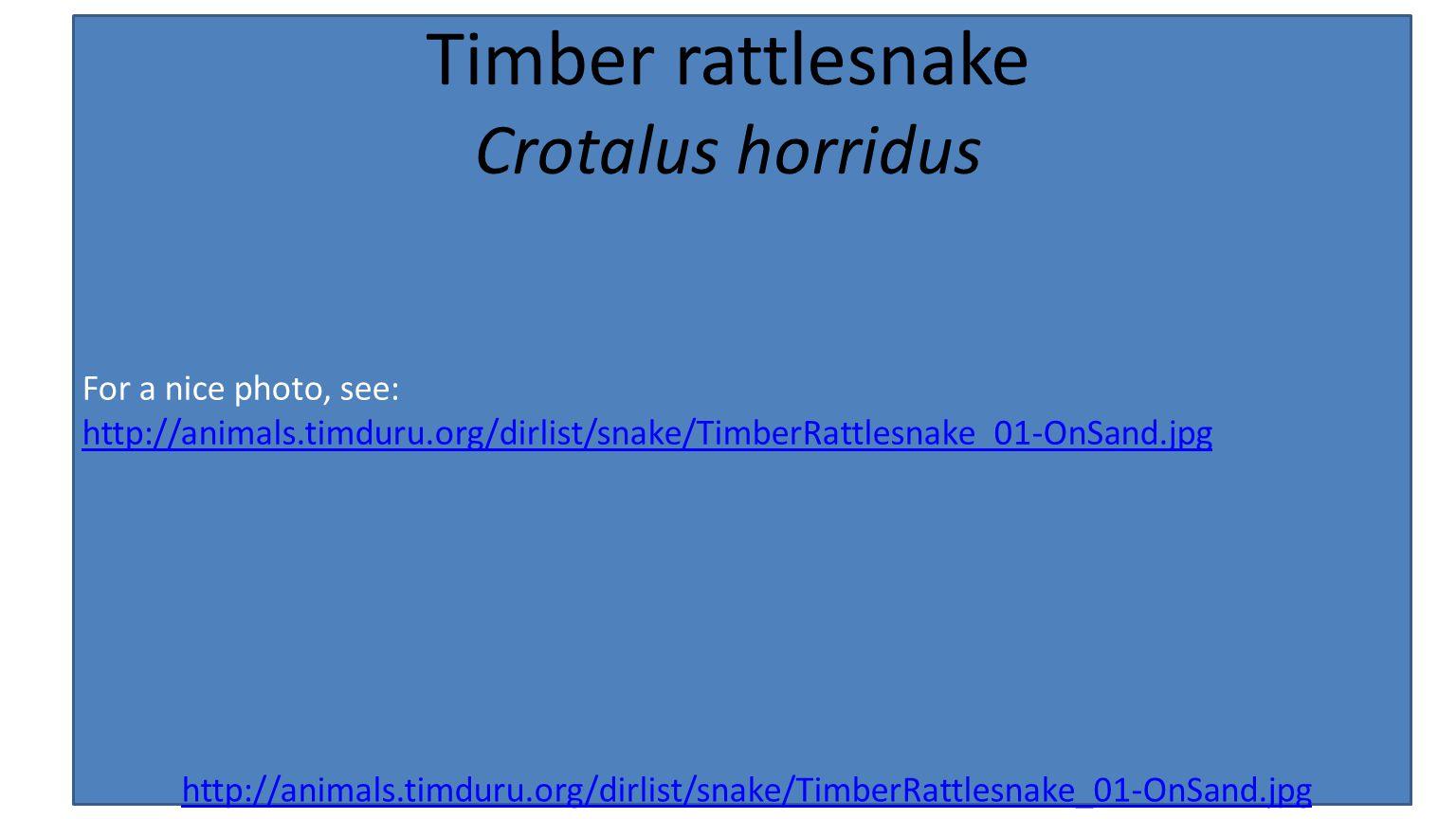 For a nice photo, see: http://animals.timduru.org/dirlist/snake/TimberRattlesnake_01-OnSand.jpg Timber rattlesnake Crotalus horridus http://animals.timduru.org/dirlist/snake/TimberRattlesnake_01-OnSand.jpg