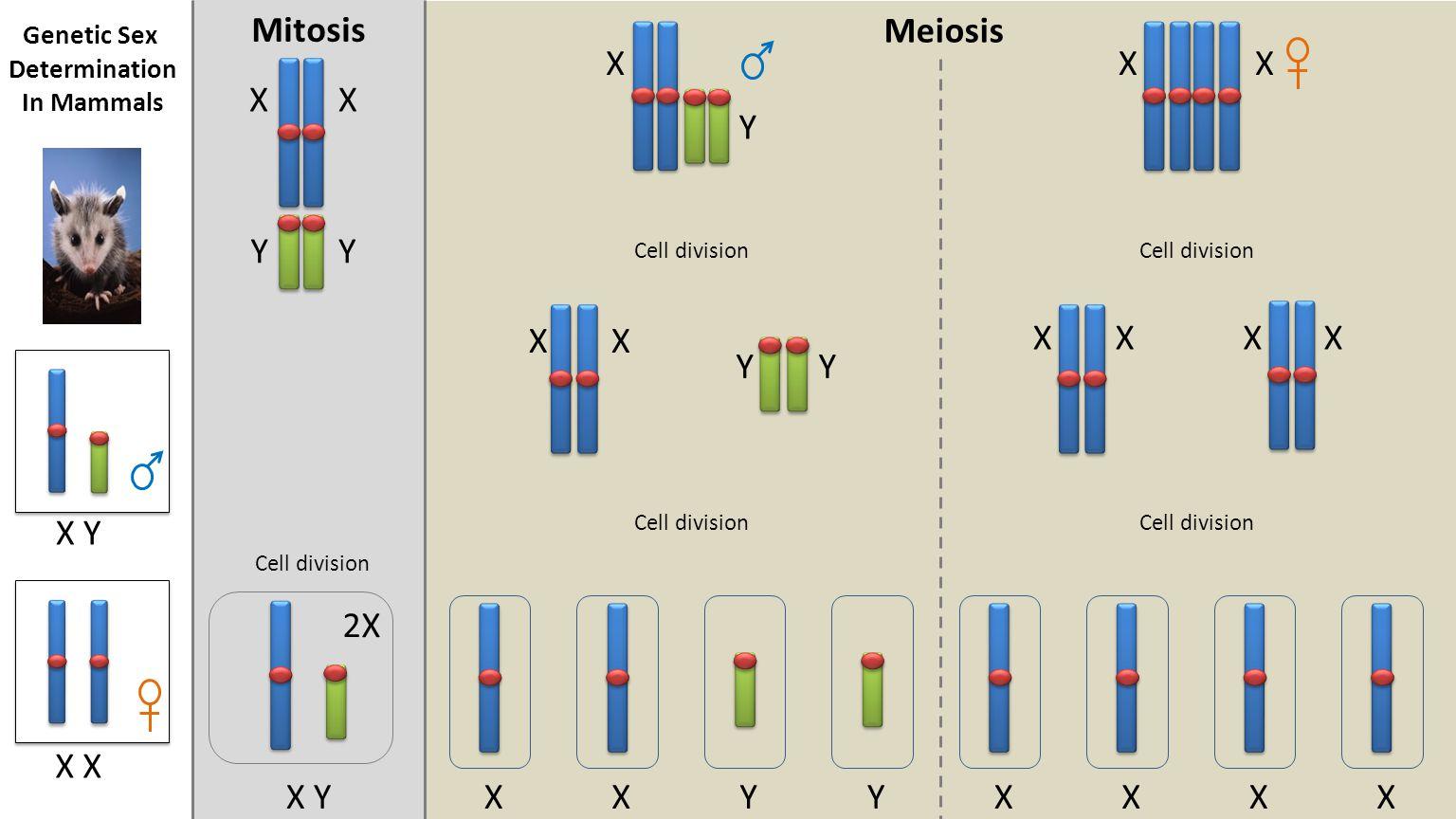 Meiosis Mitosis 2X Cell division X YXYYXXXXX XX YY X Y XX XXXX YY XX X X Y Genetic Sex Determination In Mammals