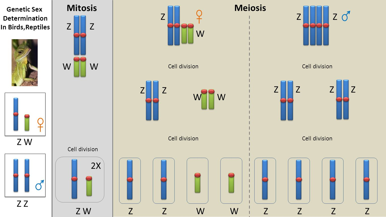 Meiosis Mitosis 2X Cell division Z WZWWZZZZZ ZZ WW Z W ZZ ZZZZ WW ZZ Z Z W Genetic Sex Determination In Birds,Reptiles