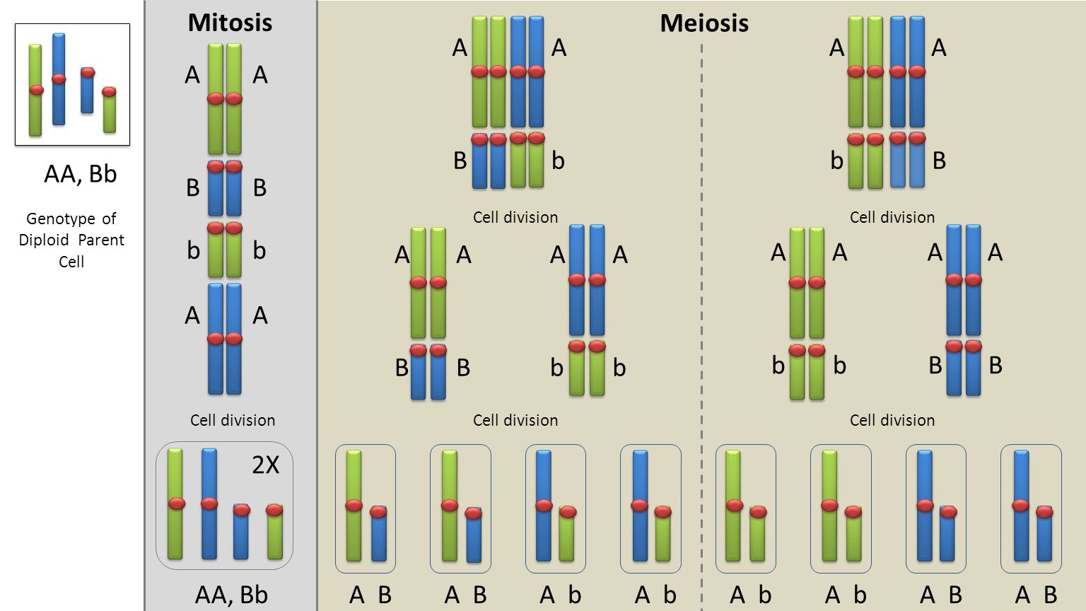 Meiosis Mitosis 2X Cell division AA, BbA BA b A B Genotype of Diploid Parent Cell AA, Bb AA BB bb AA A B A b A B A B A b A b A b A B A b A B A B A b