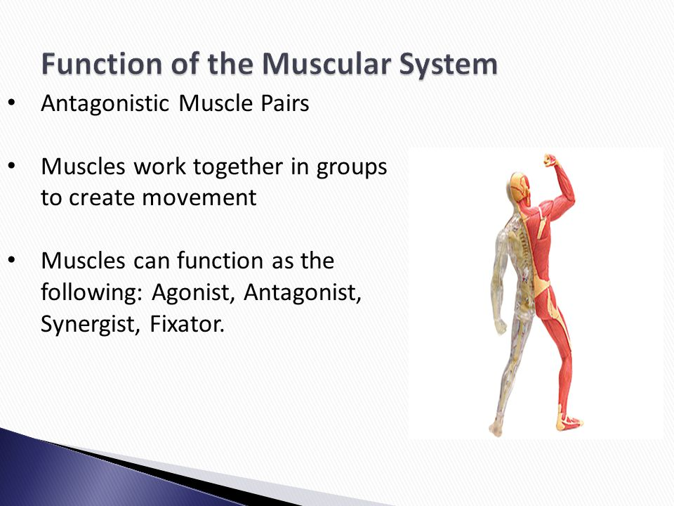 Antagonistic Muscle Pairs Muscles work together in groups to create movement Muscles can function as the following: Agonist, Antagonist, Synergist, Fi