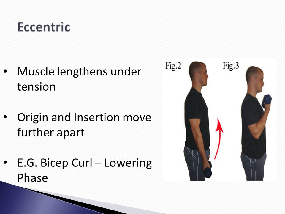Muscle lengthens under tension Origin and Insertion move further apart E.G. Bicep Curl – Lowering Phase