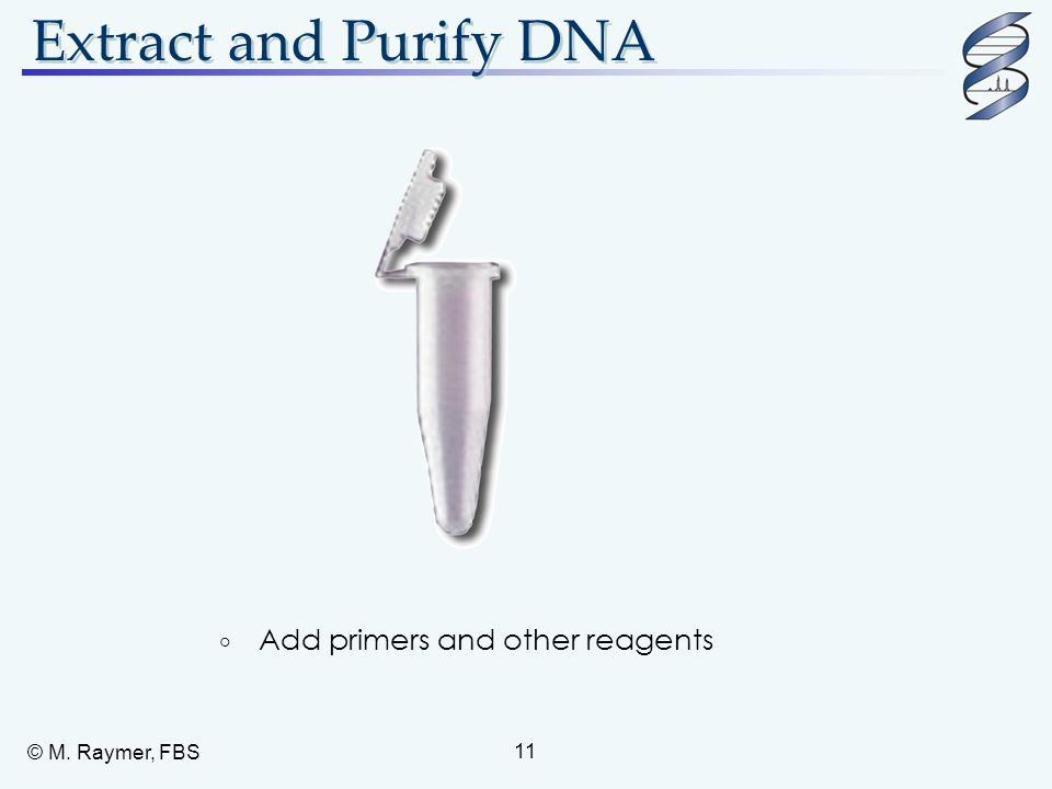 © M. Raymer, FBS 11 Extract and Purify DNA  Add primers and other reagents