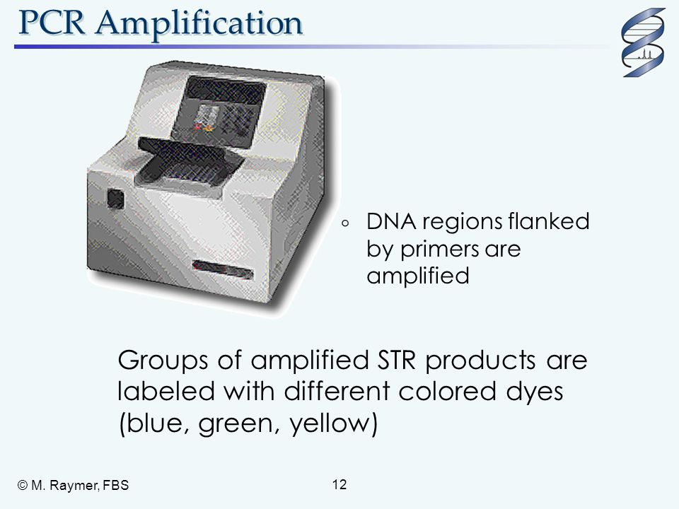 © M. Raymer, FBS 12 PCR Amplification Groups of amplified STR products are labeled with different colored dyes (blue, green, yellow)  DNA regions fla