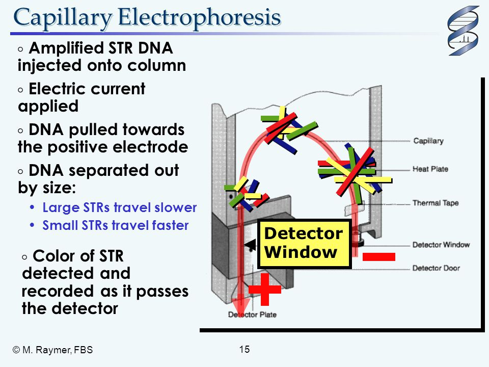 © M. Raymer, FBS 15 Capillary Electrophoresis  Amplified STR DNA injected onto column  Electric current applied  DNA separated out by size: Large S