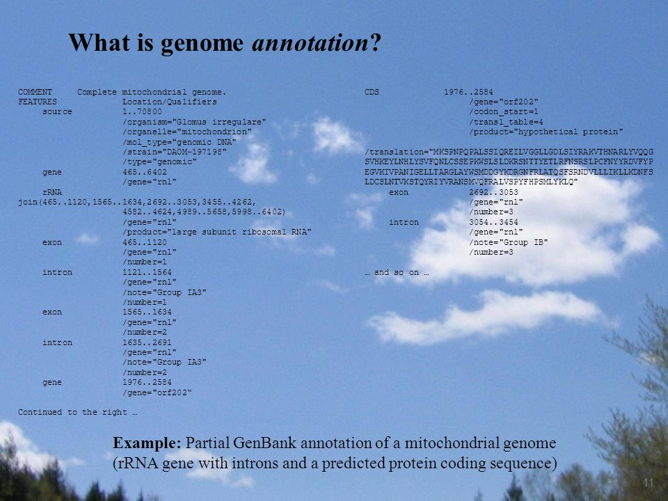 11 Example: Partial GenBank annotation of a mitochondrial genome (rRNA gene with introns and a predicted protein coding sequence) What is genome annot