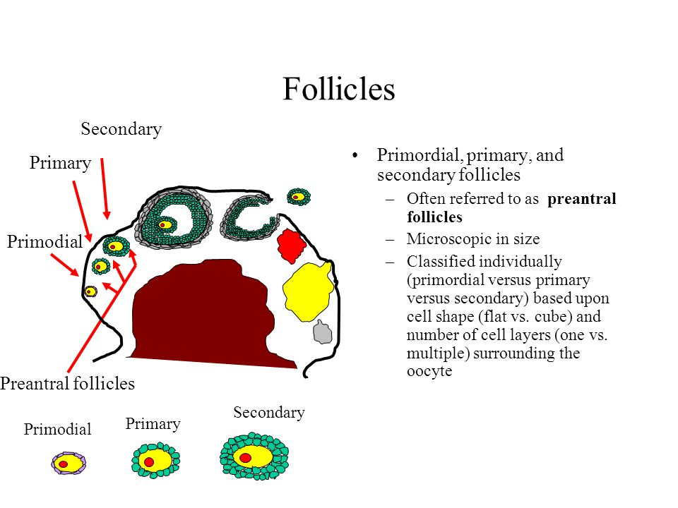 Follicles Primordial, primary, and secondary follicles –Often referred to as preantral follicles –Microscopic in size –Classified individually (primor