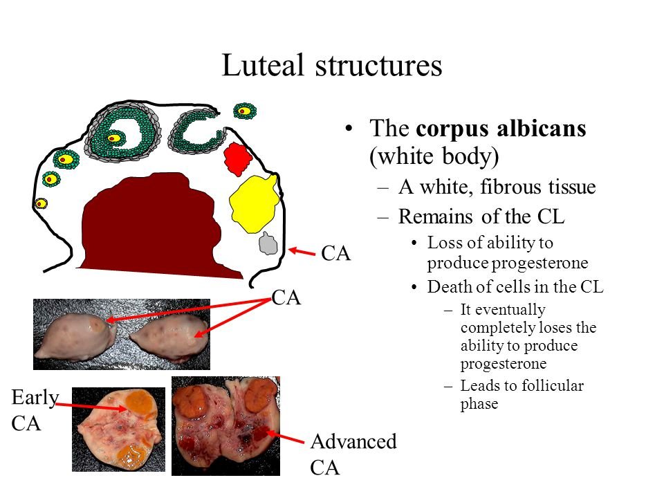 Luteal structures The corpus albicans (white body) –A white, fibrous tissue –Remains of the CL Loss of ability to produce progesterone Death of cells