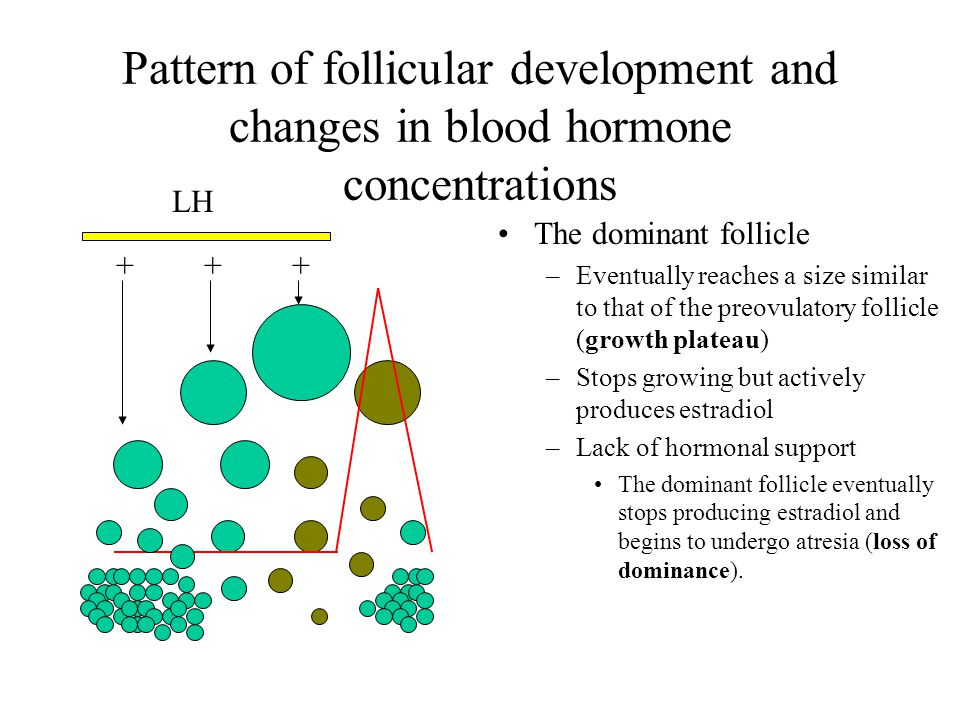 Pattern of follicular development and changes in blood hormone concentrations The dominant follicle –Eventually reaches a size similar to that of the