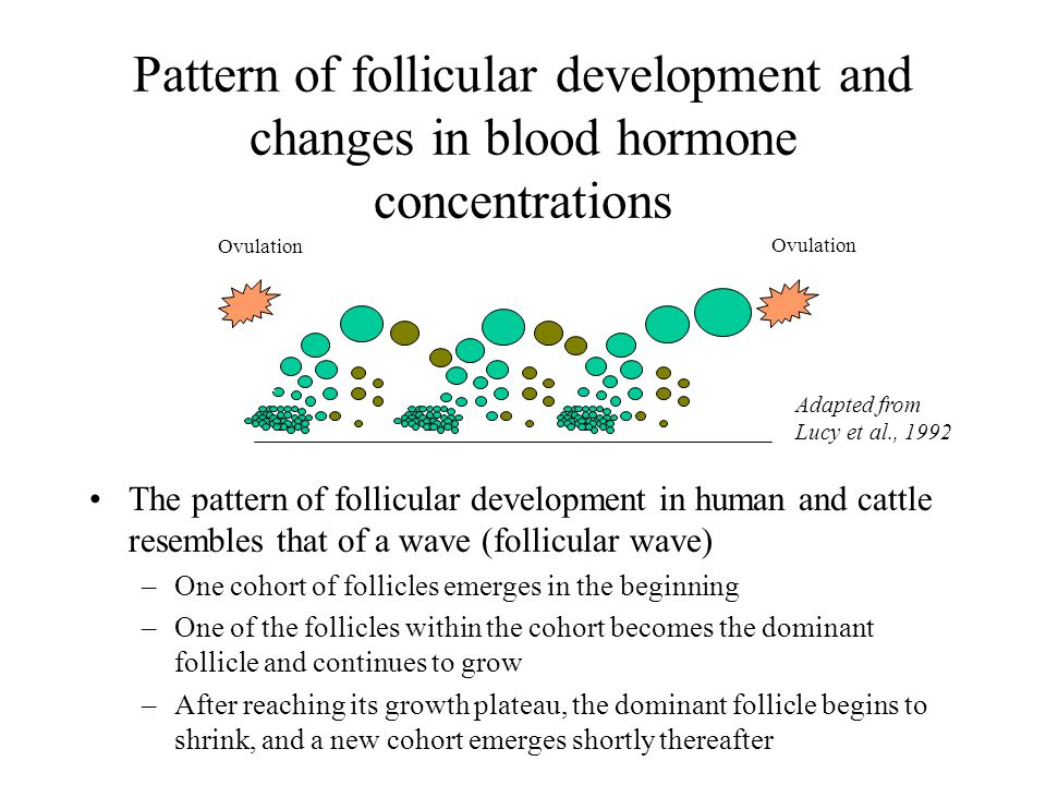 Pattern of follicular development and changes in blood hormone concentrations The pattern of follicular development in human and cattle resembles that