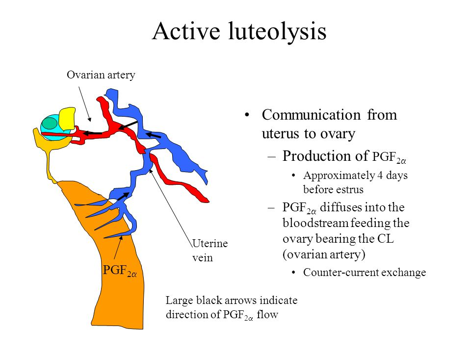 Active luteolysis Communication from uterus to ovary –Production of PGF 2  Approximately 4 days before estrus –PGF 2   diffuses into the bloodstrea