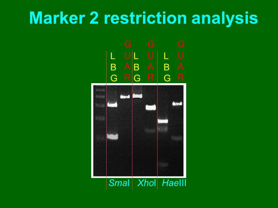 Marker 2 restriction analysis SmaI XhoI HaeIII LBGLBG GUARGUAR LBGLBG GUARGUAR LBGLBG GUARGUAR