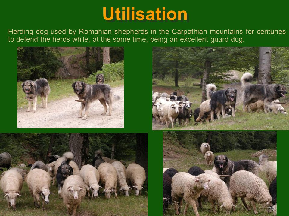 History The Romanian Carpathian Shepherd Dog was selected from an endemic breed present in the Carpatho-Danubian area. For centuries the principle cri