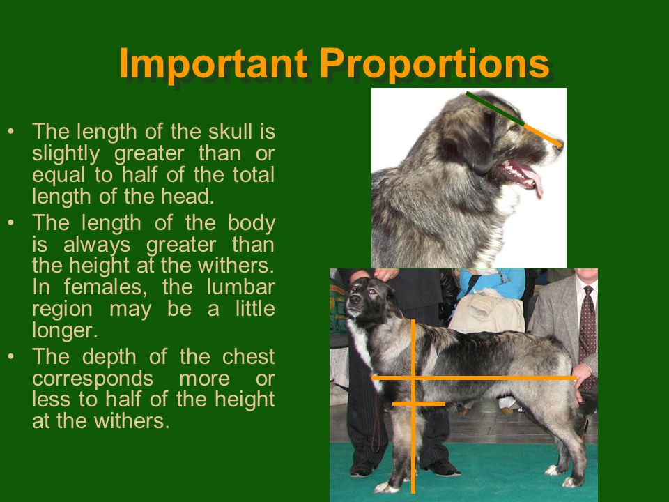 General Appearance Relatively large-sized dog, agile, never heavy, the general appearance being that of a vigorous dog. The body is rectangular, the c