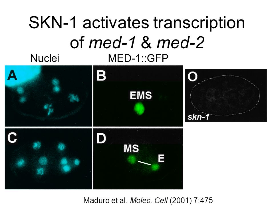 SKN-1 activates transcription of med-1 & med-2 NucleiMED-1::GFP Maduro et al.