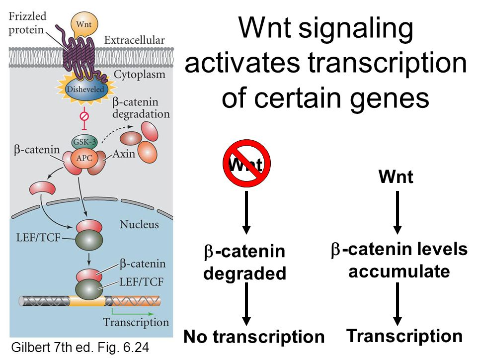 Wnt signaling activates transcription of certain genes Wnt  -catenin degraded No transcription Wnt  -catenin levels accumulate Transcription Gilbert 7th ed.