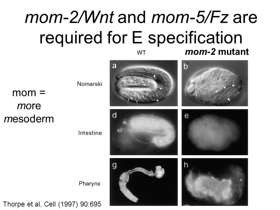 mom-2/Wnt and mom-5/Fz are required for E specification mom = more mesoderm mom-2 mutant Thorpe et al.