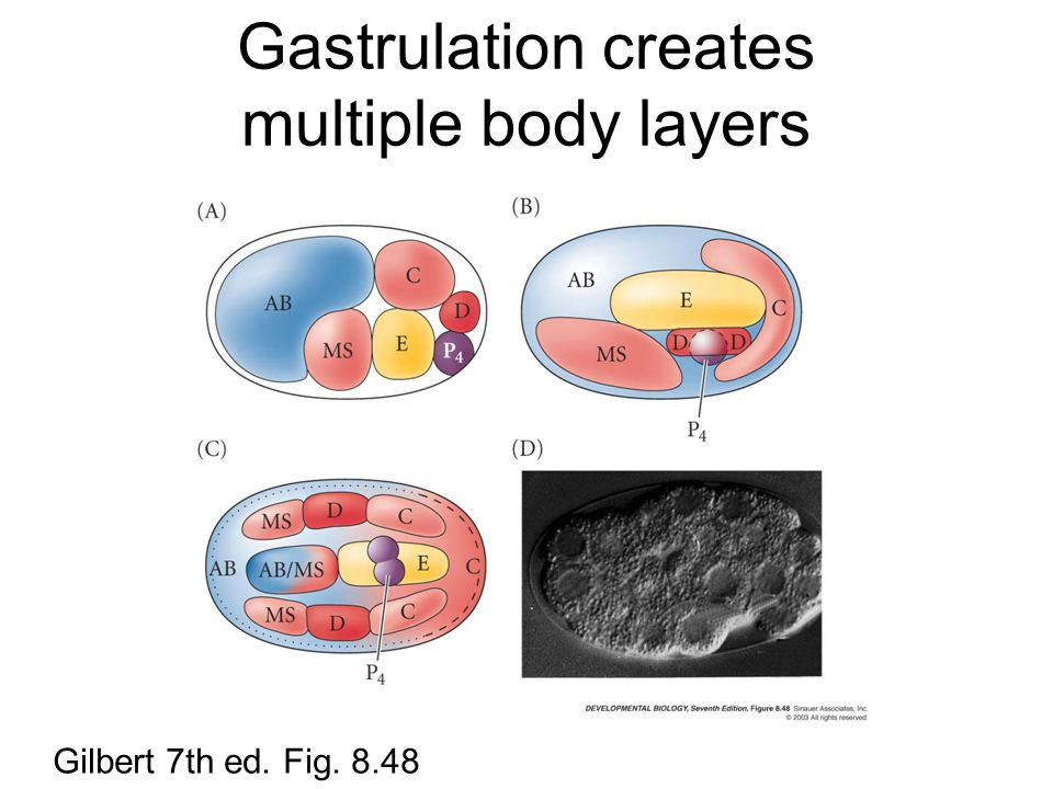 Gastrulation creates multiple body layers Gilbert 7th ed. Fig. 8.48